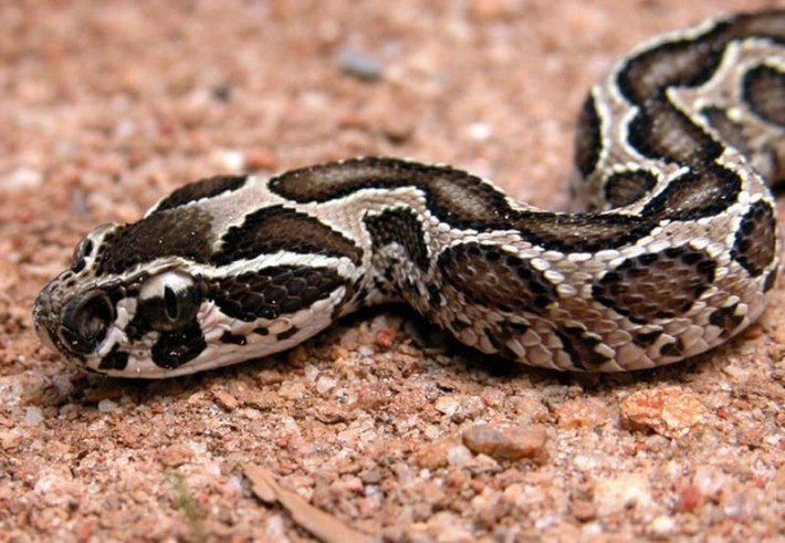 https://i0.wp.com/www.exotic-animals.org/kace/opis_vrst/redlion_moreliaviridis_2006_novi_opisi/DABOIA_RUSSELLI/daboia.jpg?w=710