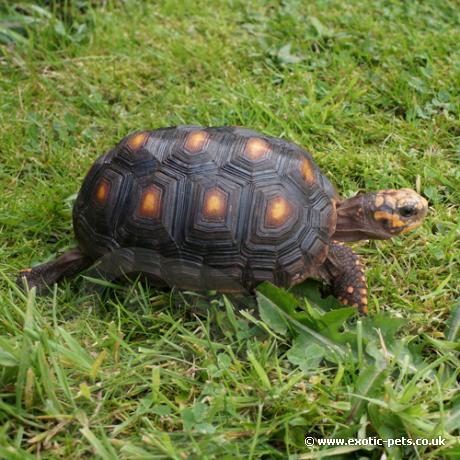 red foot tortoise geochelone