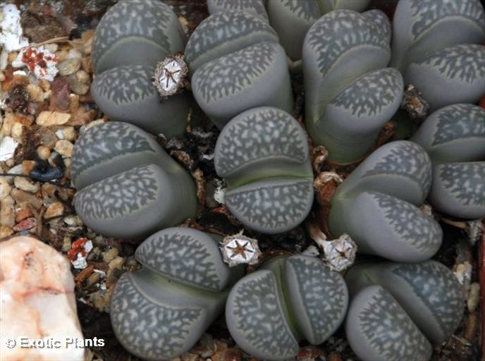 https://i0.wp.com/www.exotic-plants.de/auktionsbilder/Lithops_marmorata2_large.jpg