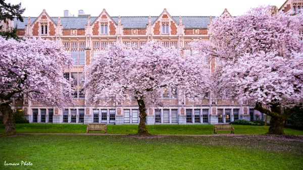 Seattle, University of Washington, Washington State, United States, Pacific Northwest, Nikon D800, Tamron 24-70mm F28, Tamron 70-200mm F28, Photography, Color, Landscape, Cherry Blossom, Flower, Tree, Plant, Nature, Building, Campus, School, Chill, Spring, Morning, Rainy, Wet, Bright, Cool, Happy, Spirited, Green, Pretty, Beauty, Bloom, Anselm Chong, Lumaca Photo, ExoticWashington.com, MyCameraDiary.com, Garden, flora, branches, Season, Tree, Bloom