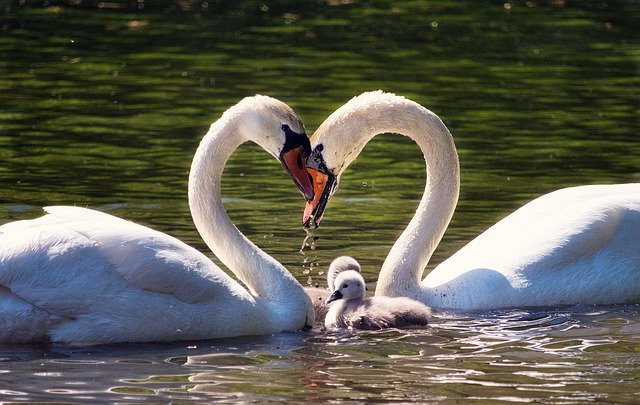 Swan family on a lake, with the two adult swans together forming a shape of a heart.
