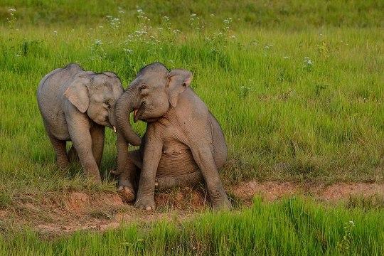 elephant khao yai