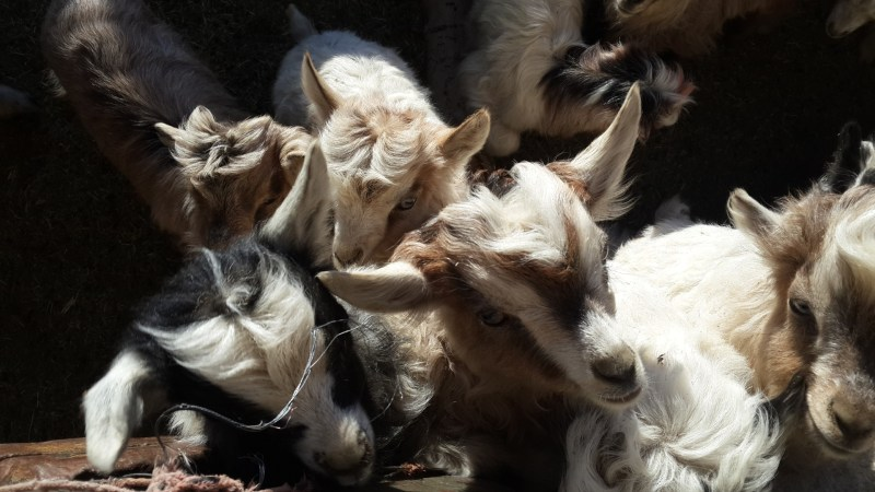 Baby goats at Pangong.