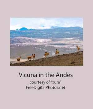 Vicuna in the Andes