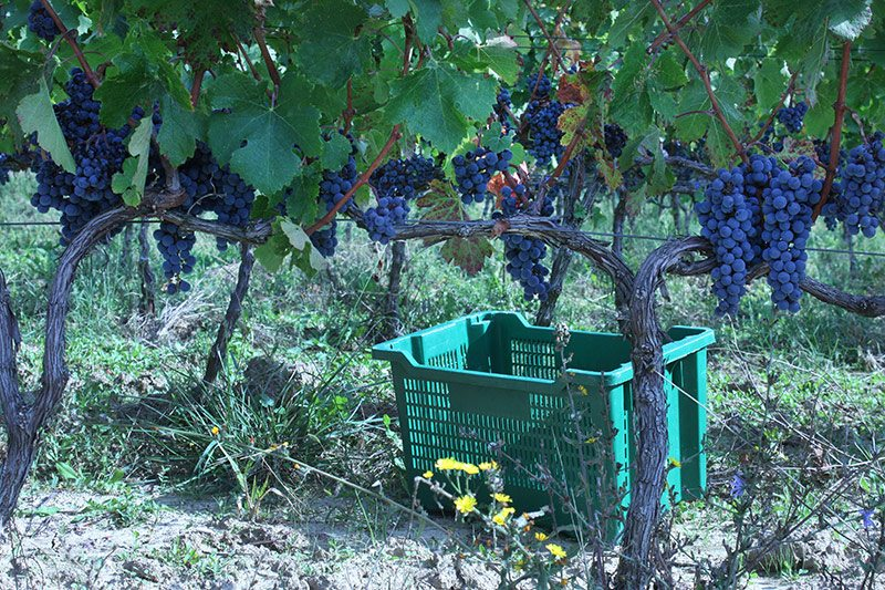 Krolo winery grapevines