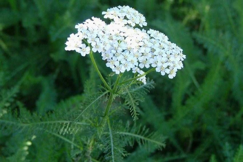 Achillea millefolium, Stolisnik