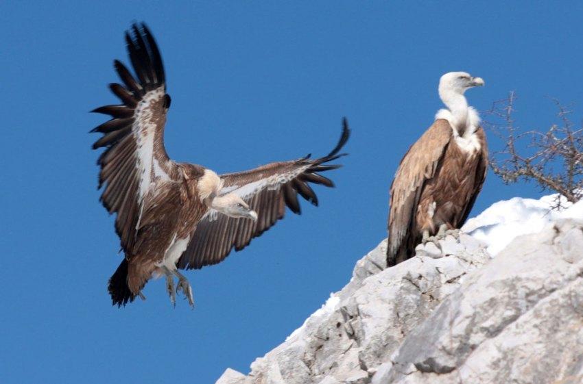 Bjeloglavi sup (vulture)