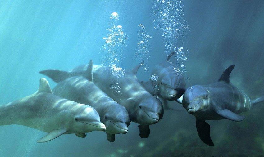 Dobri dupin (dolphin)