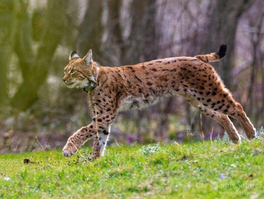 Euroazijski ris (lynx)