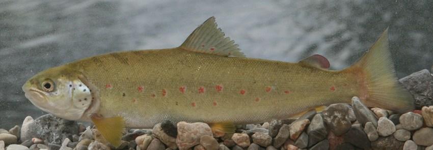 Mekousna pastrva (Croatian trout)