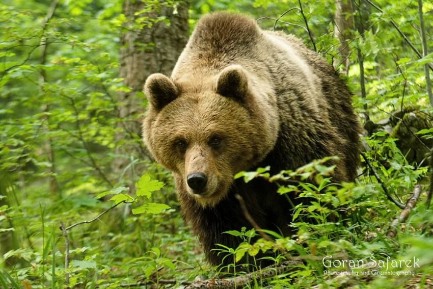 Smeđi medvjed (brown bear)