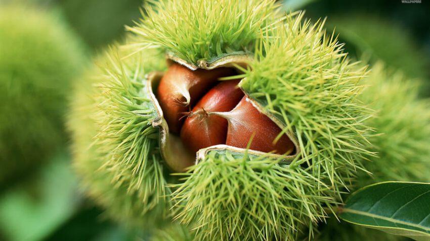Chestnuts from Ucka - Kesteni s Učke in Croatia