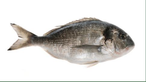 Orada fish in Croatia