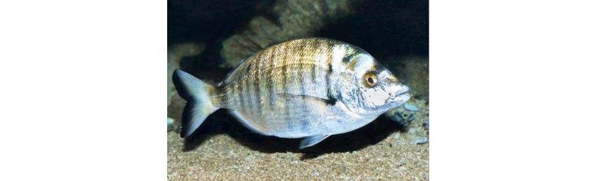 Šarag fish in Croatia