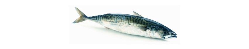 Skuša (Mackerel) fish in Croatia