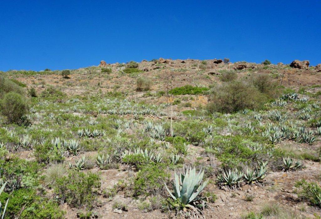 cacti outside siete puertas, gran canaria