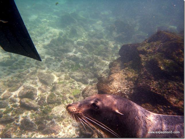Un lion de mer vient mordiller mes palmes pour m'inciter à jouer avec lui, Galapagos, Equateur.