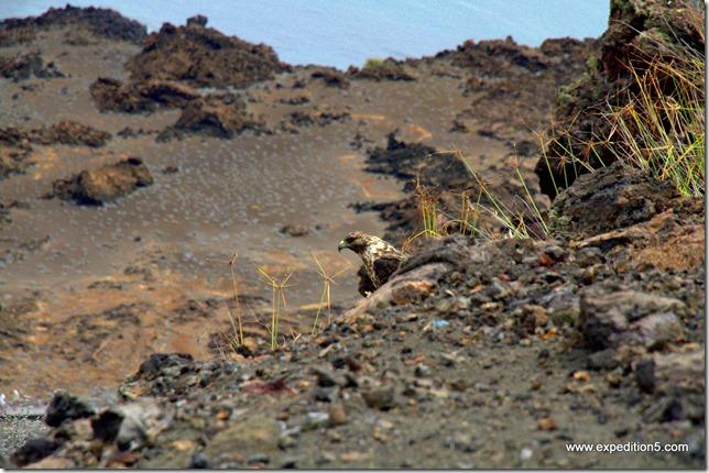 Un des rares rapaces peuplant les iles  Galapagos, Equateur.