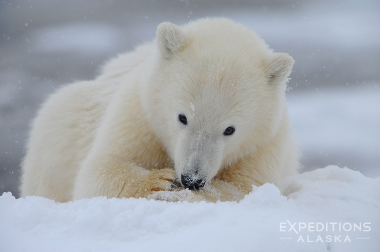 Fall Baby Animal Wallpaper Polar Bear Cub Photo Polar Bear Cub Anwr Alaska