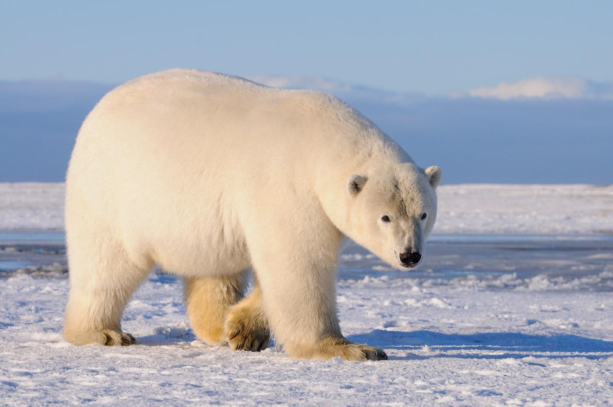 Polar bear photos stock photos of ANWR polar bears Ursus