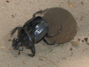Scarab beetle rolling dung ball