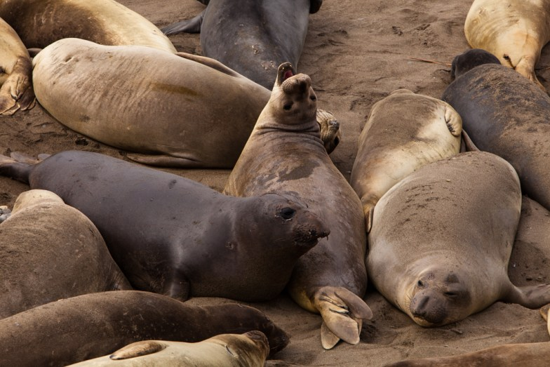 Piedras Blancas Elephant Seal Rookery (Seal Beach)