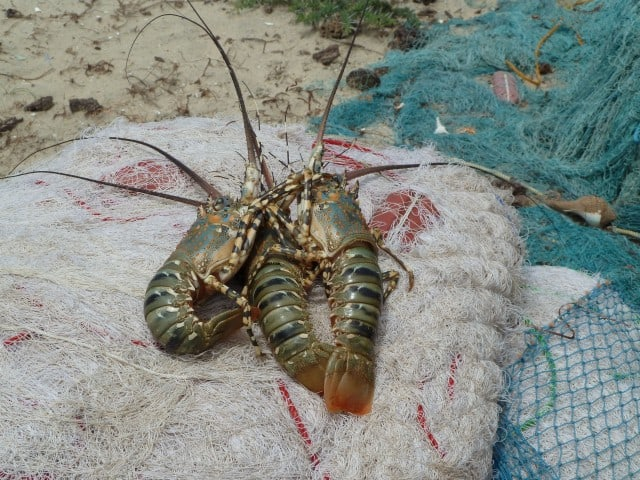 Fresh lobster from local Mannar market