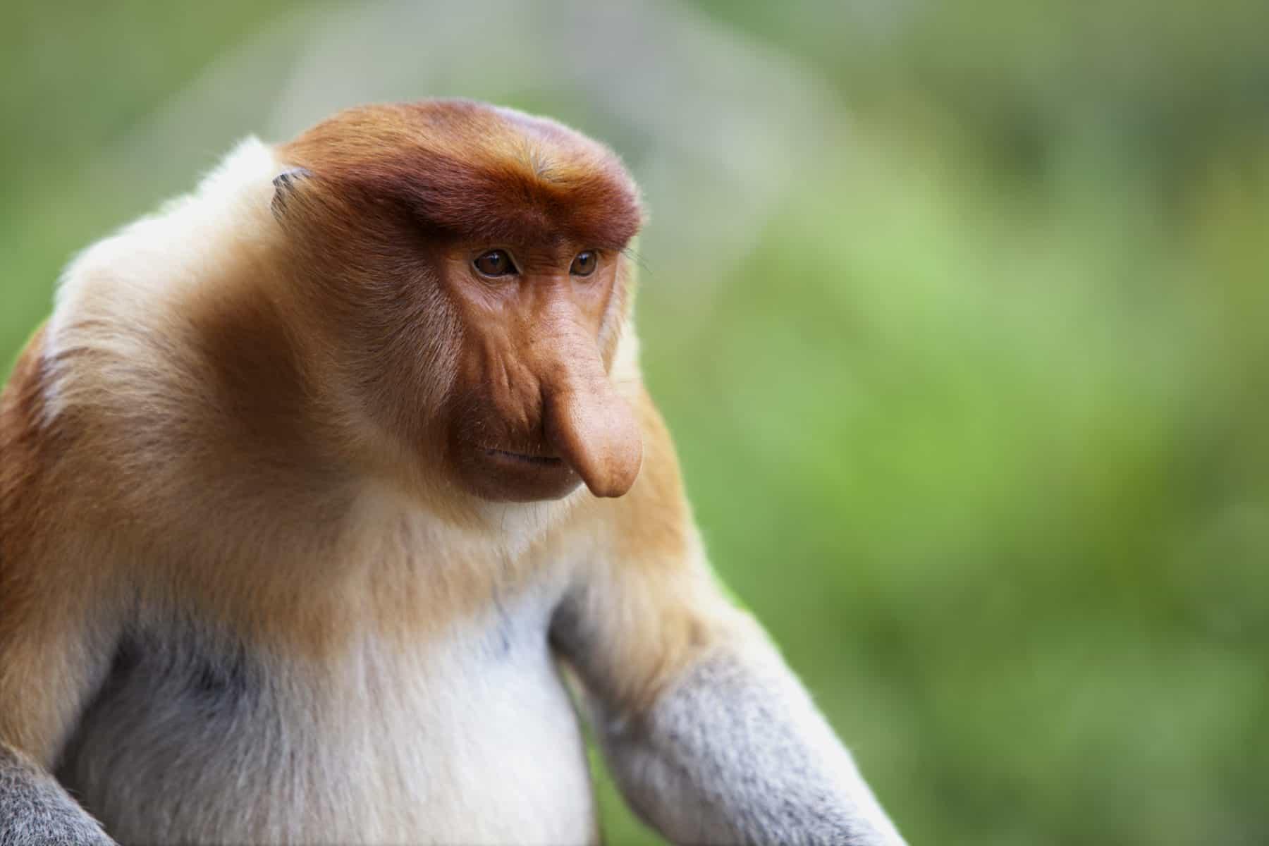 A proboscis monkey, Sandakan