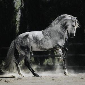 La ganadería más importante dedicada al caballo cartujano