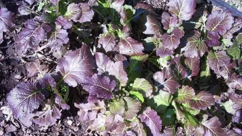 Growing Cherokee Blue Mustard for Food and Seeds