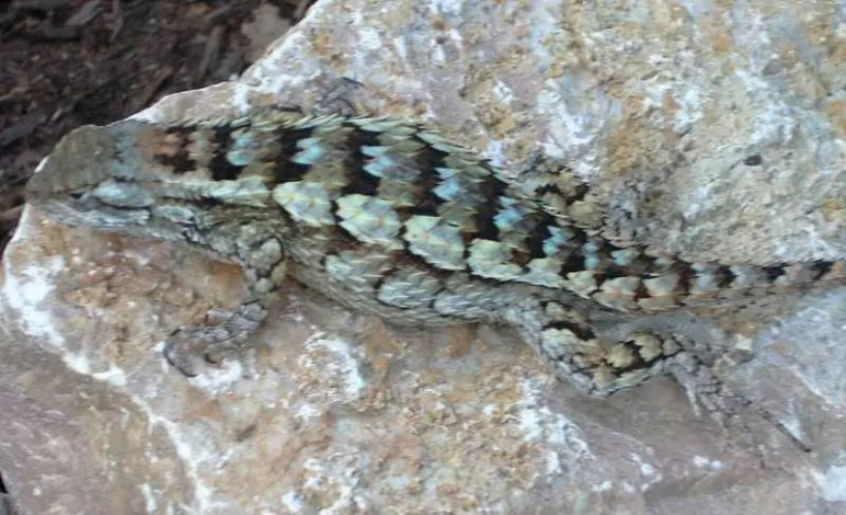 Male? Texas Spiny Lizard