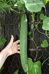 Metki-Dark Armenian cucumber ready to harvest
