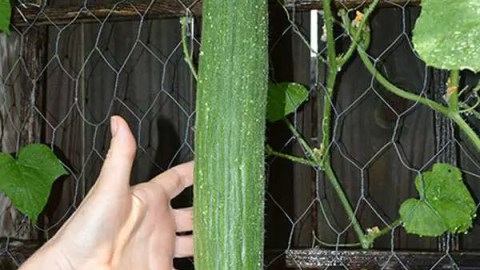 How To Grow Armenian Cucumbers in Texas