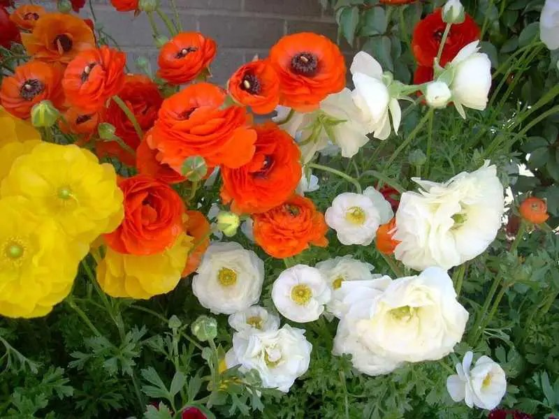 Ranunculus Asiaticus or Persian Buttercups