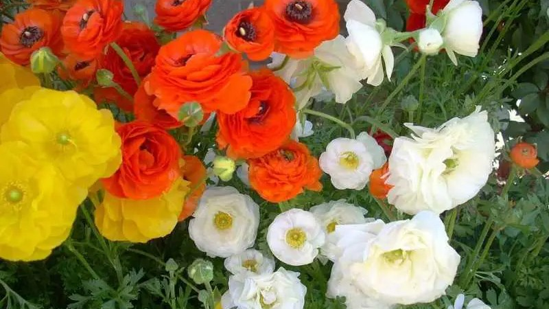Ranunculus: Flower Power for Texas Winters