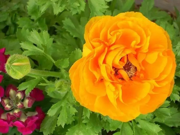 Orange Ranunculus bloom and bud.