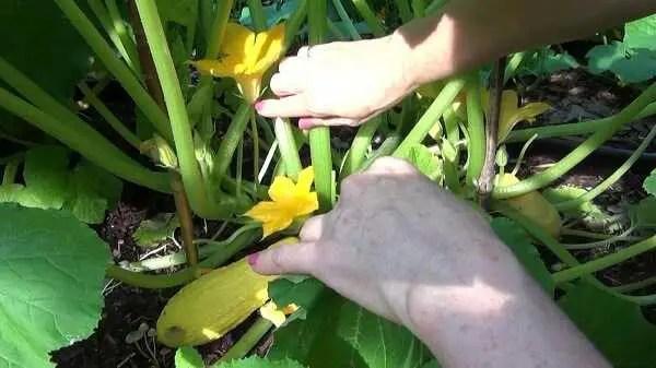 Squash Flowers (male)