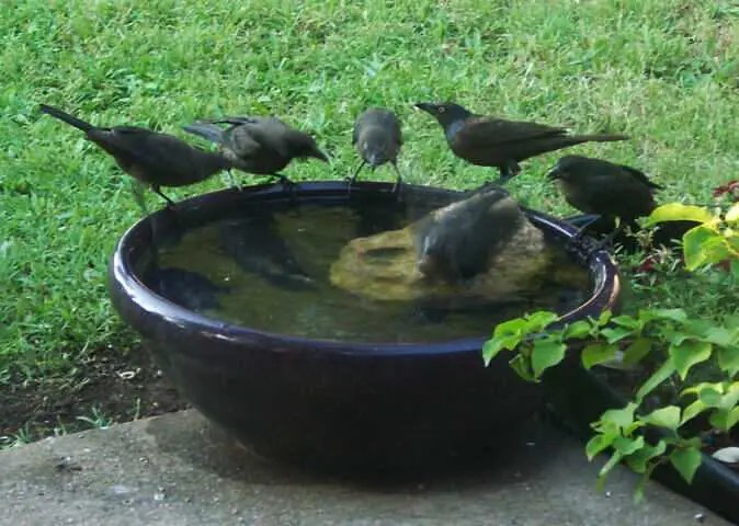 Grackles taking turns bathing in the birdbath. Grackles are grasshopper eating machines.