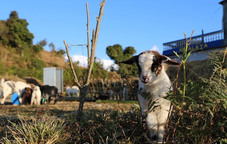 Goat Farming Business Plan India For Profitable Commercial Goat Farm