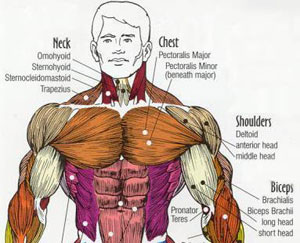 Most Important Muscles For Fighting