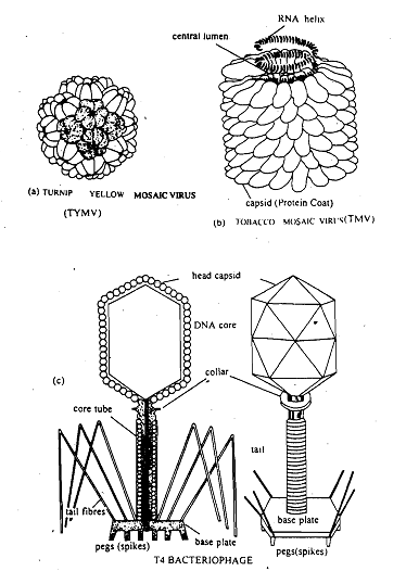 Shapes of viruses, Shapes of viruses Viruses occur in a