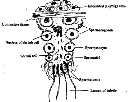Sertoli cells, Normal 0 false false false EN-IN X-NONE X