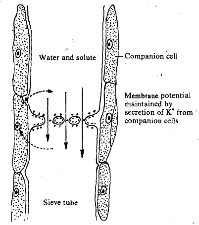 Fensom and spanner electroosmotic flow hypothesis, Biology