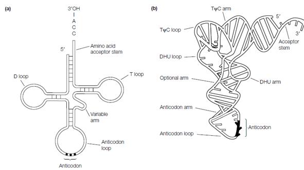 Trna Structure, Transfer RNA, Assignment Help