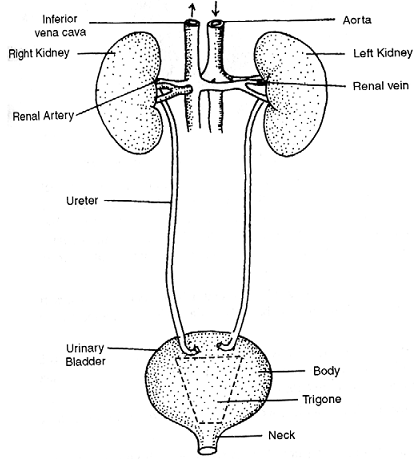 Excretory system in human, Biology