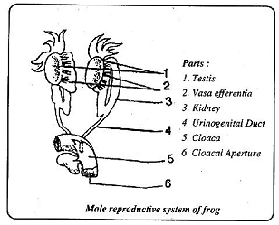 Male reproductive system of frog, Biology