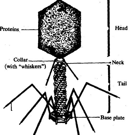 Bacteria-virus-types of procaryotes, Biology