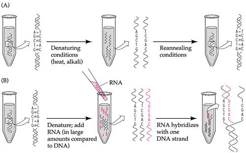 Nucleic Acid Hybridization, Biochemistry, Assignment Help