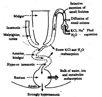 Formation of primary urine in malpighian tubules, Biology
