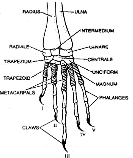 Illustration of a skeletal system of a common frog on a